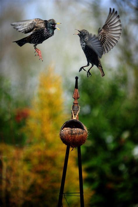 starlings peak district birds