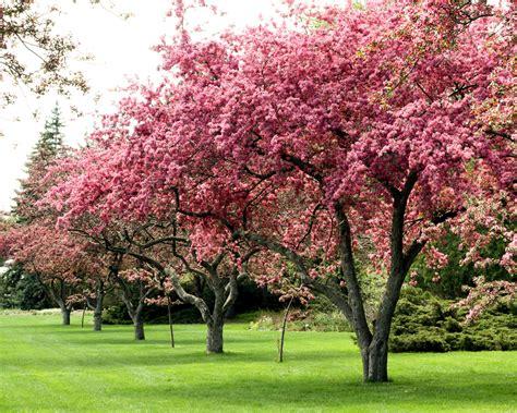 flowering trees related keywords flowering trees long