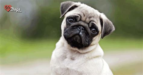unique pug names the most popular pug names choose the name for your urdogs