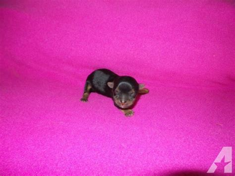 newborn puppies for sale newborn teacup yorkiepom puppies taking deposits for sale in perris california