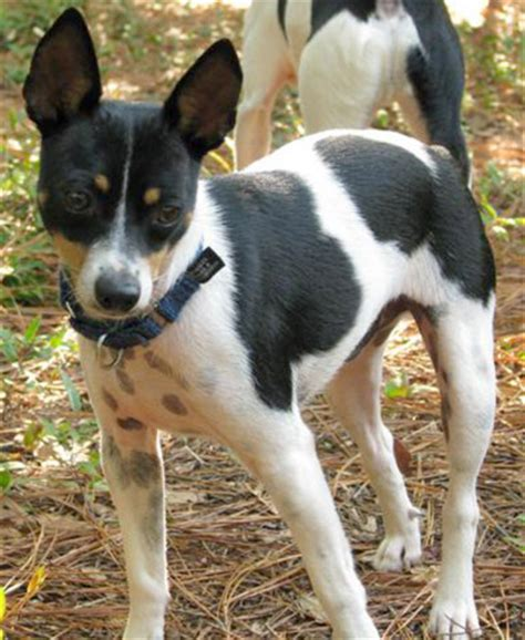 rat terrier puppies for adoption rat terrier rescue adoption saving rat terriers nationwide