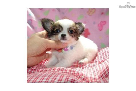 chihuahua puppies mn chihuahua puppy for sale near southwest mn minnesota 974e4d16 f261