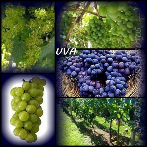 uva 340 l buy plantas medicinais uva vitis vinifera l propriedades