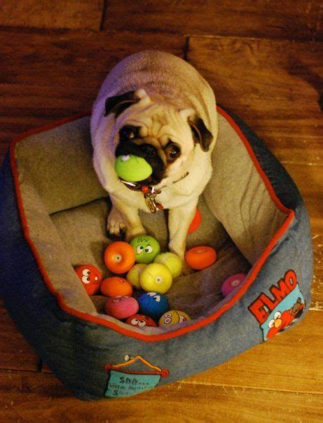 best chew toys for pugs 83 best ideas about pugs and toys on you rub the octopus and toys