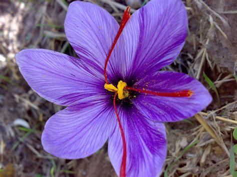 saffron wikipedia