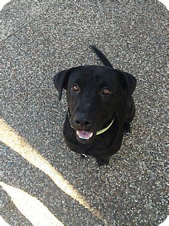 lab puppies seattle seattle wa labrador retriever mix meet flynn a for adoption