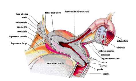 apparato genitale femminile interno apparato genitale femminile