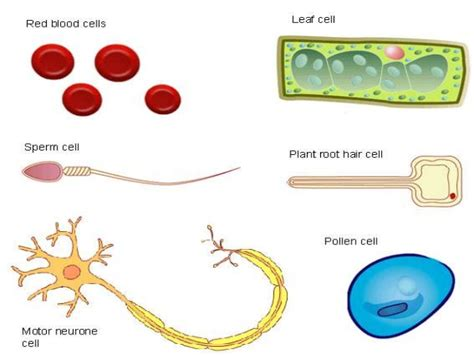 what are specialized cells how do cells become specialized for