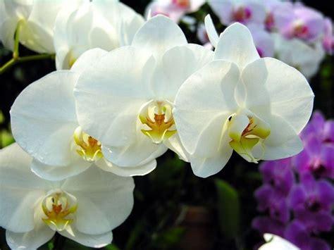 orchidea significato fiore significato orchidea significato fiori orchidea