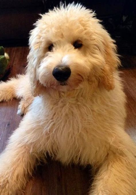 teddy goldendoodle puppies teddy goldendoodle puppies goldendoodle puppies for sale platinum goldendoodles