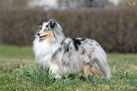 blue merle sheltie puppies the blue merle shetland sheepdog gene and what it means for dogs pets4homes