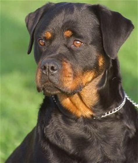 rottweiler health problems which of the following health problems are rottweilers prone to the rottweiler