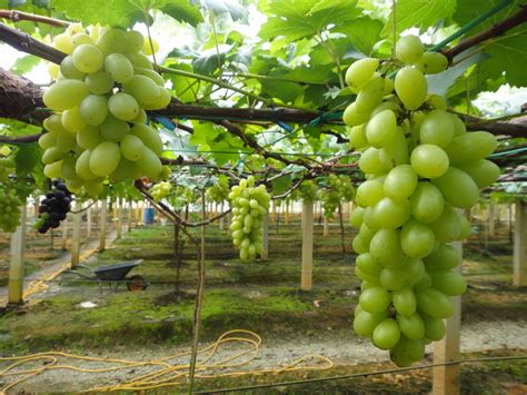 Bibit Pohon Paprika cara menanam anggur di daerah tropis tanamanbaru