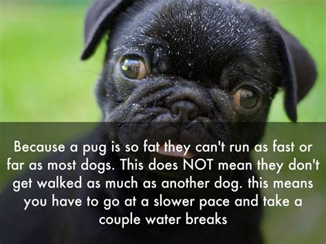 pug can t run all about pugs by mechelle moreno