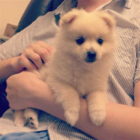 what to feed pomeranian puppies murim pomeranian puppy week at home preparations