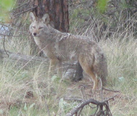 coyote in my backyard wordless wednesday coyote in backyard tales of a