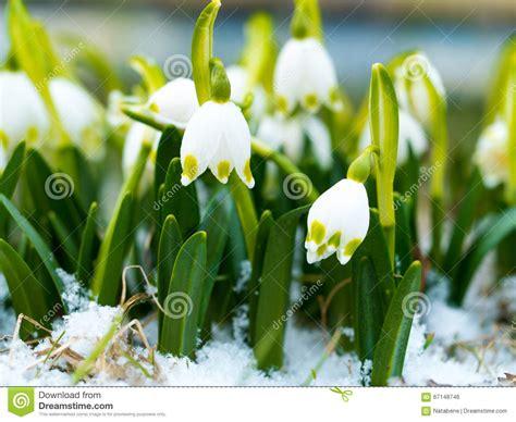 fiore della rinascita bucaneve con il fiore rinascita fiore della molla su