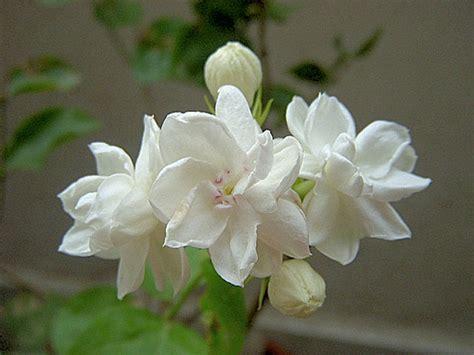 Minyak Atsiri Bunga Melati bunga melati apa khasiatnya loexie