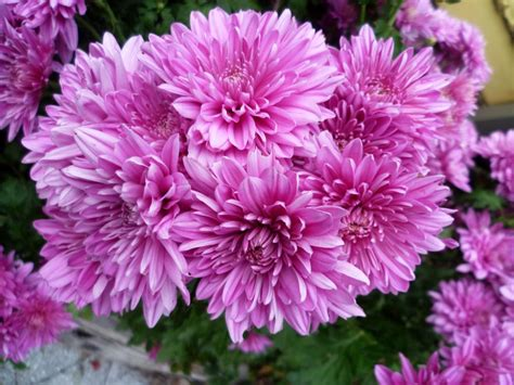 chrysanthemum remembrance kiyanti2008 s weblog
