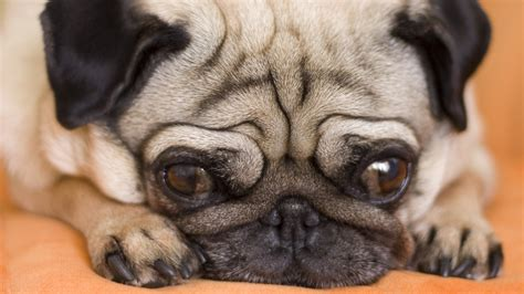 pug food allergy symptoms could your pet allergies here s how to tell health