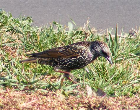 european starlings the life of your time