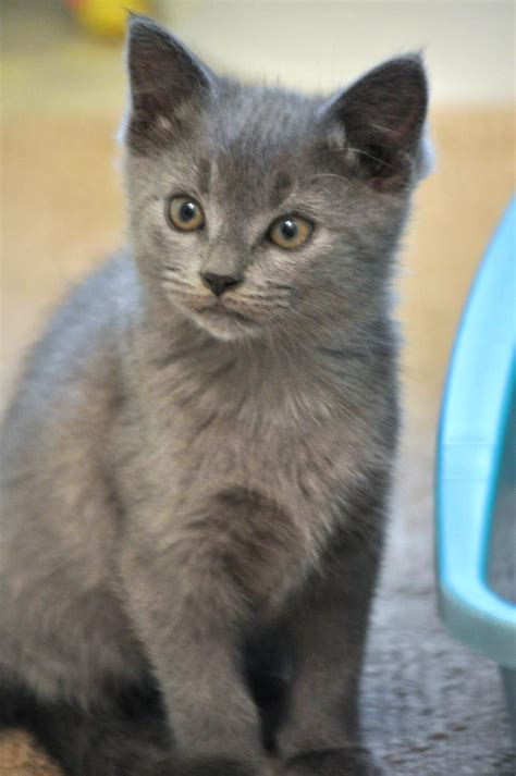 grey kitten wallpaper gray kitten pictures www pixshark com images galleries