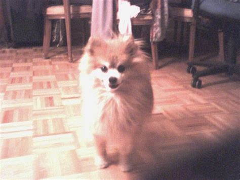 my pomeranian died my beautiful pomeranian duncan died yesterday and i can t stop animals