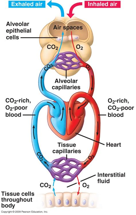 gas exchange isap 100 2014 pinterest gas exchange in the body bing images