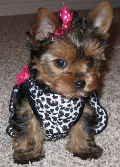 i want a yorkie 33 best images about i want a yorkie morkie shorkie on morkie puppies for