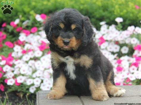 bernedoodle puppies for sale in pa kole mini bernedoodle puppy for sale from gordonville pa animals