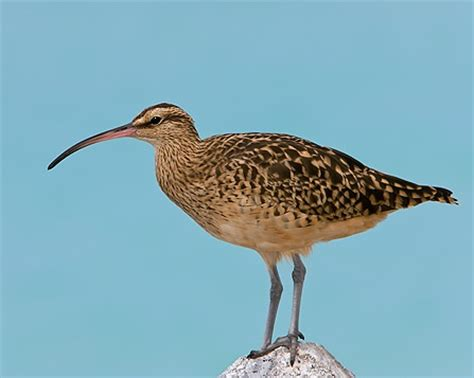 bristle thighed curlew museum of birds pinterest