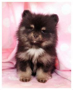 where can i buy teacup pomeranian teacup pomeranian puppy on rat terrier puppies pomeranian puppy and micro