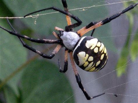 Garden Spider Vs Orb Weaver by Common Name Golden Orb Weaver Zoology Scientific Name