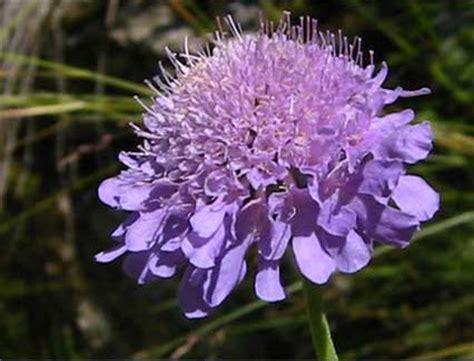 magnesio supremo come si prende fiore violetto nome 28 images fiori immagini