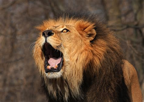 Lions And Christians intervention lions save christians from islamic