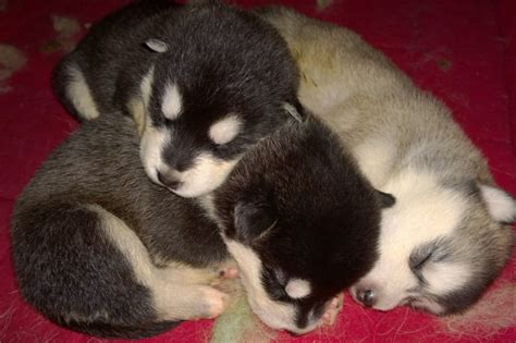 alaskan malamute puppies for sale large breeds for sale in westchester westchester puppies
