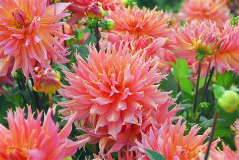 Dahlia Top 2 beautiful dahlias to crave for