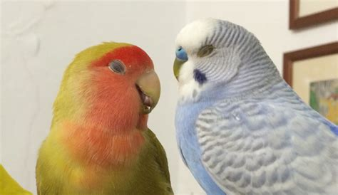 For Lovebird budgie and lovebird language