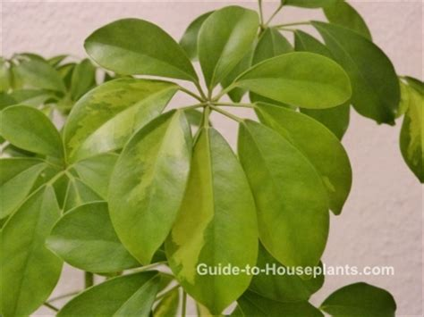 guide to common house plants schefflera actinophylla schefflera plant care tips picture