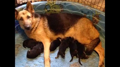 german shepherd puppies for sale florida akc german shepherd puppies for sale in fl vom barron s pride gsd 1 28 2015 puppies