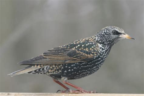 ohio bird photo collection european starling