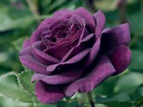 rosa color purple roses