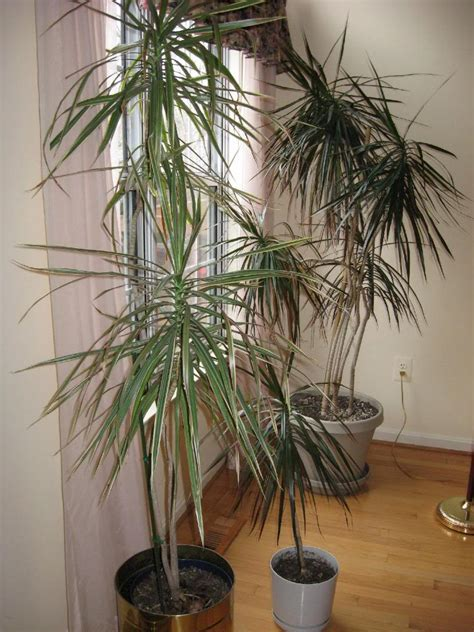 tall house plants tall house plants 6 photo by crowmagna photobucket
