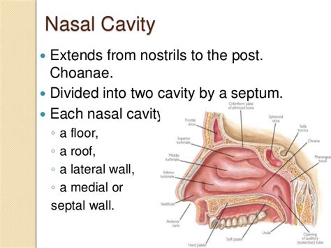 Floor Of The Nasal Cavity by Anatomy Of Nose And Para Nasal Sinuses By Dr Md