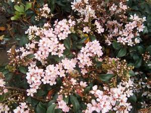 shrub with pink flowers indian hawthorn raphiolepis indica evergreen small