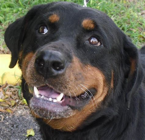 rottweiler rescue in florida gulfstream guardian rottweiler rescue