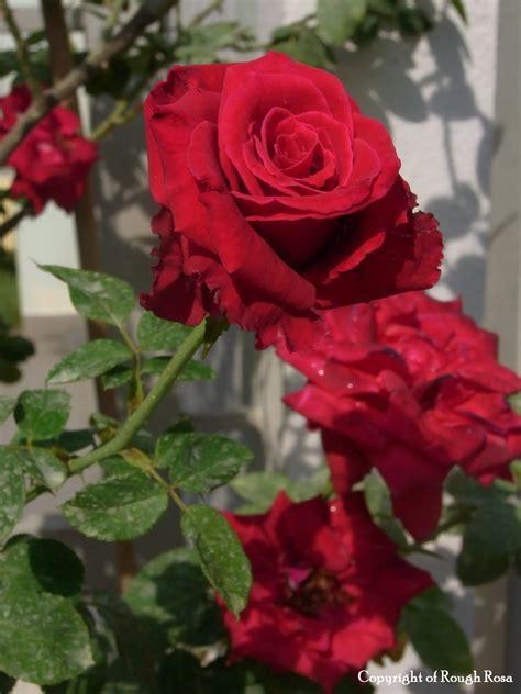 Mawar Moss pokok bunga ros jepun check out pokok bunga ros jepun cntravel