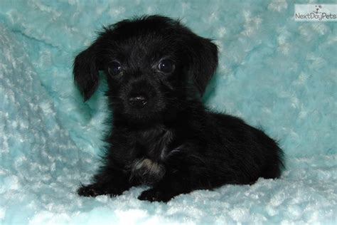 yorkie poo puppies dallas tx duncan yorkiepoo yorkie poo puppy for sale near dallas fort worth