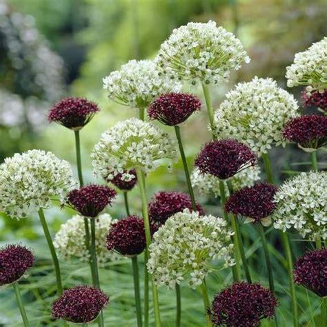 allium atropurpureum nigrum longfield gardens