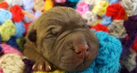shar pei puppies for sale nc shar pei puppies for sale in louisiana breeds picture